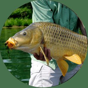 Carp Fish Species