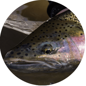 Steelhead Fish Species