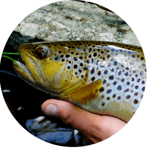 Trout Fish Species