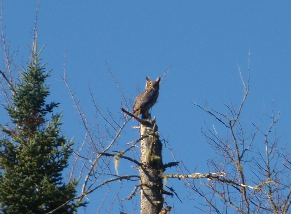 What the Hell are You Guys Doing Here? An Owl Stares Down at us Along the Moosehead River